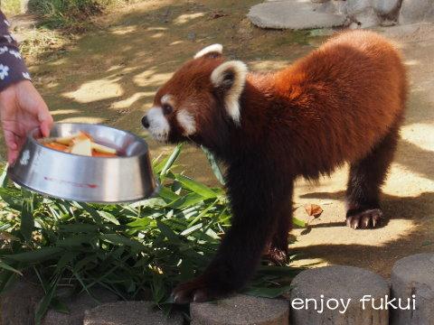 癒しのレッサーパンダ鯖江市「西山動物園」