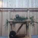 「レッサーパンダのいえ」にお邪魔しました(西山動物園)